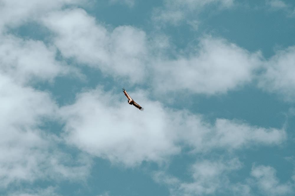 Un vautour planant au-dessus du plateau d'emparis